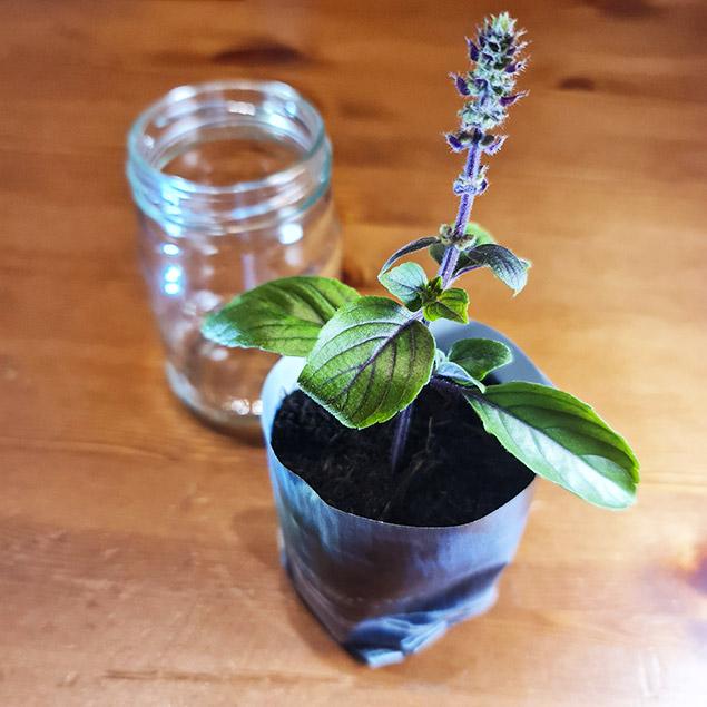 Strauchbasilikum in Blumentopf aus Papier